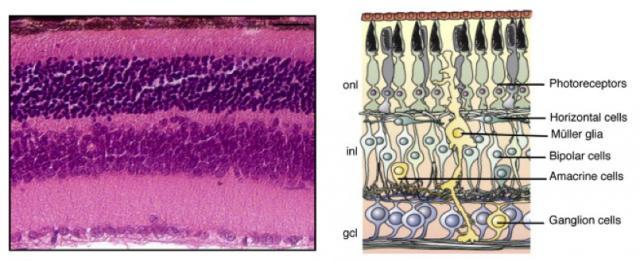 Retinal diagran